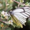 Schmetterling am Wegrand